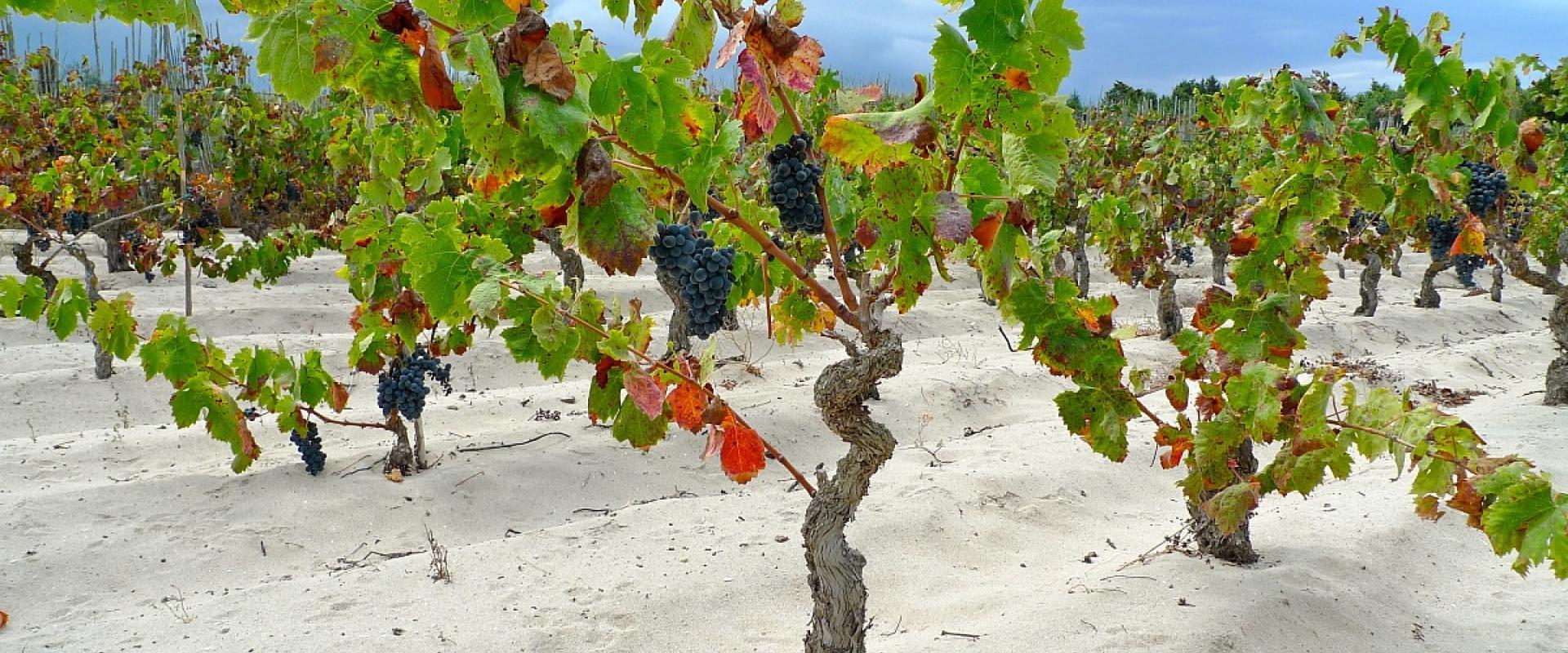 wineyard in sardinia